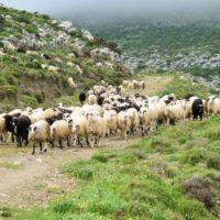 αιγοπρόβατα